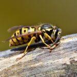 Quattro semplici suggerimenti per liberarsi dalle vespe